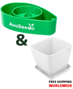 AvoSeedo Set - Grow your own Avocado Tree!