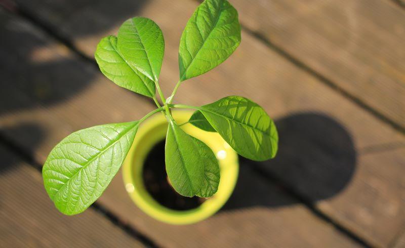 Avocado in flower pot - Grow your own Avocado Tree!