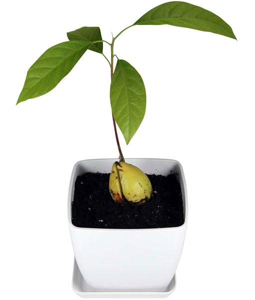 Avoseedo Grow Your Own Avocado Tree