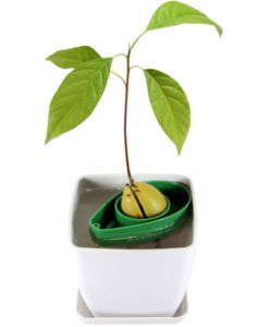 AvoSeedo - Grow your own Avocado Tree!