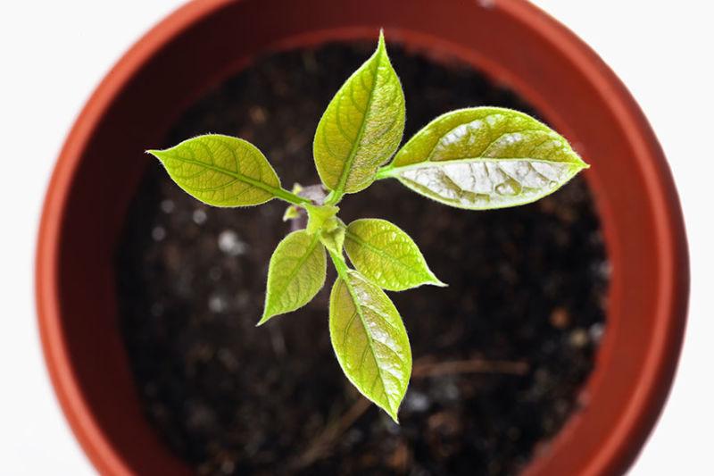 Home avoseedo grow your own avocado tree for Grow your own avocado tree from seed