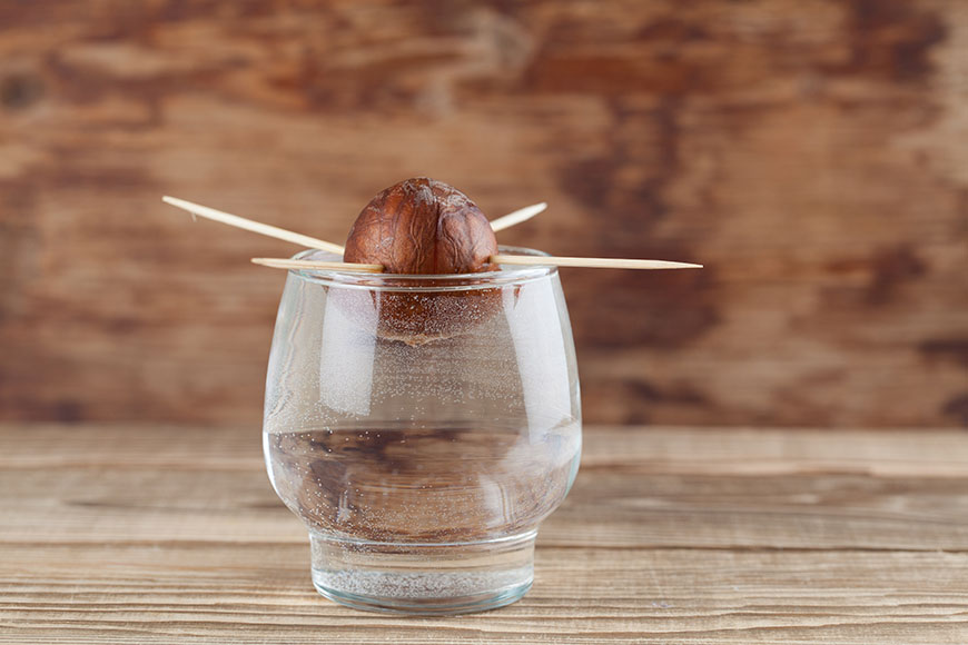 avocado seed in glass with water u2013 first growth stage of avocado plant - Grow An Avocado