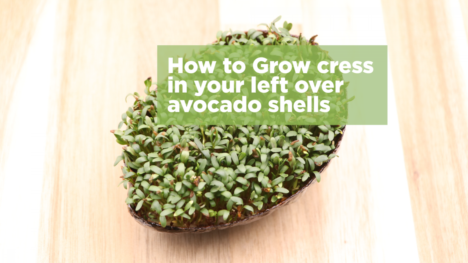 How to grow cress in your leftover avocado shells for Grow your own avocado tree from seed