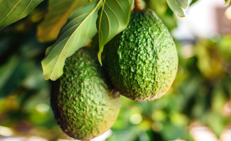 A history of the Avocado in South American culture